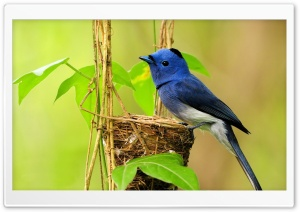 Beautiful Blue Bird HD Wide Wallpaper for Widescreen