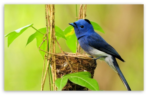 Beautiful Blue Bird ❤ 4K UHD Wallpaper for Wide 16:10 5:3 Widescreen WHXGA WQXGA WUXGA WXGA WGA ; 4K UHD 16:9 Ultra High Definition 2160p 1440p 1080p 900p 720p ; Standard 4:3 5:4 3:2 Fullscreen UXGA XGA SVGA QSXGA SXGA DVGA HVGA HQVGA ( Apple PowerBook G4 iPhone 4 3G 3GS iPod Touch ) ; Tablet 1:1 ; iPad 1/2/Mini ; Mobile 4:3 5:3 3:2 16:9 5:4 - UXGA XGA SVGA WGA DVGA HVGA HQVGA ( Apple PowerBook G4 iPhone 4 3G 3GS iPod Touch ) 2160p 1440p 1080p 900p 720p QSXGA SXGA ;