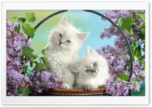 Beautiful Burmese Kittens HD Wide Wallpaper for Widescreen