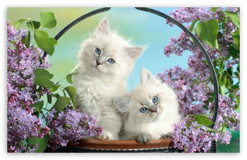 Beautiful Burmese Kittens HD wallpaper for Wide 16:10 5:3 Widescreen WHXGA WQXGA WUXGA WXGA WGA ; HD 16:9 High Definition WQHD QWXGA 1080p 900p 720p QHD nHD ; Standard 4:3 5:4 3:2 Fullscreen UXGA XGA SVGA QSXGA SXGA DVGA HVGA HQVGA devices ( Apple PowerBook G4 iPhone 4 3G 3GS iPod Touch ) ; Tablet 1:1 ; iPad 1/2/Mini ; Mobile 4:3 5:3 3:2 16:9 5:4 - UXGA XGA SVGA WGA DVGA HVGA HQVGA devices ( Apple PowerBook G4 iPhone 4 3G 3GS iPod Touch ) WQHD QWXGA 1080p 900p 720p QHD nHD QSXGA SXGA ;
