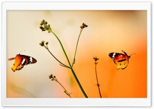 Beautiful Butterflies HD Wide Wallpaper for 4K UHD Widescreen desktop & smartphone