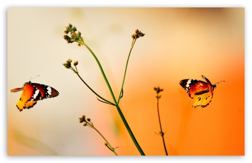 Beautiful Butterflies HD wallpaper for Wide 16:10 5:3 Widescreen WHXGA WQXGA WUXGA WXGA WGA ; HD 16:9 High Definition WQHD QWXGA 1080p 900p 720p QHD nHD ; Other 3:2 DVGA HVGA HQVGA devices ( Apple PowerBook G4 iPhone 4 3G 3GS iPod Touch ) ; Mobile VGA WVGA iPhone iPad PSP - VGA QVGA Smartphone ( PocketPC GPS iPod Zune BlackBerry HTC Samsung LG Nokia Eten Asus ) WVGA WQVGA Smartphone ( HTC Samsung Sony Ericsson LG Vertu MIO ) HVGA Smartphone ( Apple iPhone iPod BlackBerry HTC Samsung Nokia ) Sony PSP Zune HD Zen ; Dual 4:3 5:4 16:10 5:3 UXGA XGA SVGA QSXGA SXGA WHXGA WQXGA WUXGA WXGA WGA ;