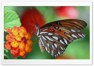 Beautiful Butterfly HD Wide Wallpaper for Widescreen