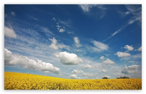 Beautiful Canola Field, Summer HD wallpaper for Wide 16:10 5:3 Widescreen WHXGA WQXGA WUXGA WXGA WGA ; HD 16:9 High Definition WQHD QWXGA 1080p 900p 720p QHD nHD ; Standard 4:3 5:4 3:2 Fullscreen UXGA XGA SVGA QSXGA SXGA DVGA HVGA HQVGA devices ( Apple PowerBook G4 iPhone 4 3G 3GS iPod Touch ) ; Tablet 1:1 ; iPad 1/2/Mini ; Mobile 4:3 5:3 3:2 16:9 5:4 - UXGA XGA SVGA WGA DVGA HVGA HQVGA devices ( Apple PowerBook G4 iPhone 4 3G 3GS iPod Touch ) WQHD QWXGA 1080p 900p 720p QHD nHD QSXGA SXGA ; Dual 16:10 5:3 4:3 5:4 WHXGA WQXGA WUXGA WXGA WGA UXGA XGA SVGA QSXGA SXGA ;