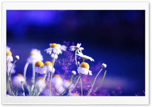 Beautiful Chamomile Flowers HD Wide Wallpaper for Widescreen