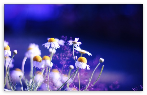 Beautiful Chamomile Flowers HD wallpaper for Wide 16:10 5:3 Widescreen WHXGA WQXGA WUXGA WXGA WGA ; HD 16:9 High Definition WQHD QWXGA 1080p 900p 720p QHD nHD ; Standard 4:3 5:4 3:2 Fullscreen UXGA XGA SVGA QSXGA SXGA DVGA HVGA HQVGA devices ( Apple PowerBook G4 iPhone 4 3G 3GS iPod Touch ) ; Tablet 1:1 ; iPad 1/2/Mini ; Mobile 4:3 5:3 3:2 16:9 5:4 - UXGA XGA SVGA WGA DVGA HVGA HQVGA devices ( Apple PowerBook G4 iPhone 4 3G 3GS iPod Touch ) WQHD QWXGA 1080p 900p 720p QHD nHD QSXGA SXGA ;