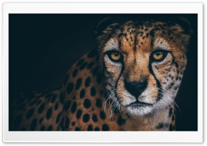 Beautiful Cheetah Animal Ultra HD Wallpaper for 4K UHD Widescreen desktop, tablet & smartphone