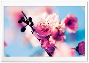 Beautiful Cherry Blossom HD Wide Wallpaper for Widescreen