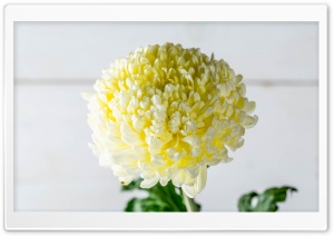 Beautiful Chrysanthemum Ultra HD Wallpaper for 4K UHD Widescreen desktop, tablet & smartphone