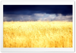 Beautiful Crop Field HD Wide Wallpaper for Widescreen