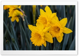 Beautiful Daffodils HD Wide Wallpaper for 4K UHD Widescreen desktop & smartphone