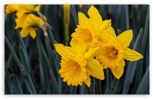 Beautiful Daffodils ❤ 4K UHD Wallpaper for Wide 16:10 5:3 Widescreen WHXGA WQXGA WUXGA WXGA WGA ; 4K UHD 16:9 Ultra High Definition 2160p 1440p 1080p 900p 720p ; UHD 16:9 2160p 1440p 1080p 900p 720p ; Standard 4:3 5:4 3:2 Fullscreen UXGA XGA SVGA QSXGA SXGA DVGA HVGA HQVGA ( Apple PowerBook G4 iPhone 4 3G 3GS iPod Touch ) ; Smartphone 5:3 WGA ; Tablet 1:1 ; iPad 1/2/Mini ; Mobile 4:3 5:3 3:2 16:9 5:4 - UXGA XGA SVGA WGA DVGA HVGA HQVGA ( Apple PowerBook G4 iPhone 4 3G 3GS iPod Touch ) 2160p 1440p 1080p 900p 720p QSXGA SXGA ; Dual 16:10 WHXGA WQXGA WUXGA WXGA ;