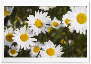 Beautiful Daisies HD Wide Wallpaper for 4K UHD Widescreen desktop & smartphone