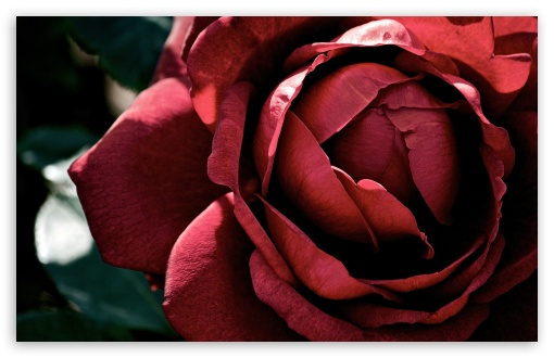 Beautiful Dark Red Rose ❤ 4K UHD Wallpaper for Wide 16:10 5:3 Widescreen WHXGA WQXGA WUXGA WXGA WGA ; 4K UHD 16:9 Ultra High Definition 2160p 1440p 1080p 900p 720p ; UHD 16:9 2160p 1440p 1080p 900p 720p ; Standard 4:3 5:4 3:2 Fullscreen UXGA XGA SVGA QSXGA SXGA DVGA HVGA HQVGA ( Apple PowerBook G4 iPhone 4 3G 3GS iPod Touch ) ; Smartphone 5:3 WGA ; Tablet 1:1 ; iPad 1/2/Mini ; Mobile 4:3 5:3 3:2 16:9 5:4 - UXGA XGA SVGA WGA DVGA HVGA HQVGA ( Apple PowerBook G4 iPhone 4 3G 3GS iPod Touch ) 2160p 1440p 1080p 900p 720p QSXGA SXGA ; Dual 16:10 5:3 16:9 4:3 5:4 WHXGA WQXGA WUXGA WXGA WGA 2160p 1440p 1080p 900p 720p UXGA XGA SVGA QSXGA SXGA ;