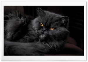 Beautiful Doll Face Persian Cat, Fluffy Black Fur, Golden Eyes Ultra HD Wallpaper for 4K UHD Widescreen desktop, tablet & smartphone