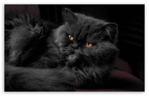 Beautiful Doll Face Persian Cat, Fluffy Black Fur, Golden Eyes UltraHD Wallpaper for Wide 16:10 5:3 Widescreen WHXGA WQXGA WUXGA WXGA WGA ; UltraWide 21:9 24:10 ; 8K UHD TV 16:9 Ultra High Definition 2160p 1440p 1080p 900p 720p ; UHD 16:9 2160p 1440p 1080p 900p 720p ; Standard 4:3 5:4 3:2 Fullscreen UXGA XGA SVGA QSXGA SXGA DVGA HVGA HQVGA ( Apple PowerBook G4 iPhone 4 3G 3GS iPod Touch ) ; Smartphone 16:9 3:2 5:3 2160p 1440p 1080p 900p 720p DVGA HVGA HQVGA ( Apple PowerBook G4 iPhone 4 3G 3GS iPod Touch ) WGA ; Tablet 1:1 ; iPad 1/2/Mini ; Mobile 4:3 5:3 3:2 16:9 5:4 - UXGA XGA SVGA WGA DVGA HVGA HQVGA ( Apple PowerBook G4 iPhone 4 3G 3GS iPod Touch ) 2160p 1440p 1080p 900p 720p QSXGA SXGA ;
