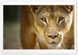 Beautiful Female Lion HD Wide Wallpaper for Widescreen