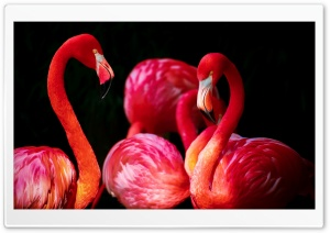Beautiful Flamingos HD Wide Wallpaper for Widescreen