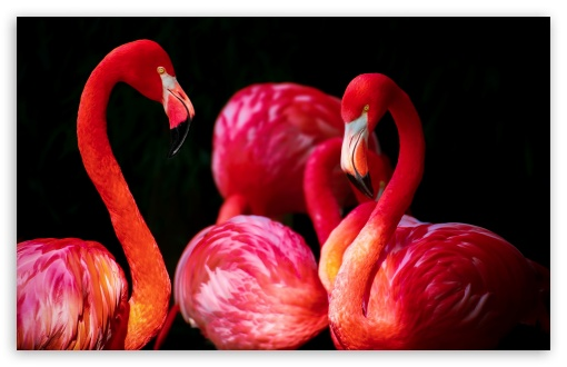 Beautiful Flamingos HD wallpaper for Wide 16:10 5:3 Widescreen WHXGA WQXGA WUXGA WXGA WGA ; HD 16:9 High Definition WQHD QWXGA 1080p 900p 720p QHD nHD ; UHD 16:9 WQHD QWXGA 1080p 900p 720p QHD nHD ; Standard 4:3 5:4 Fullscreen UXGA XGA SVGA QSXGA SXGA ; MS 3:2 DVGA HVGA HQVGA devices ( Apple PowerBook G4 iPhone 4 3G 3GS iPod Touch ) ; Mobile VGA WVGA iPhone iPad PSP Phone - VGA QVGA Smartphone ( PocketPC GPS iPod Zune BlackBerry HTC Samsung LG Nokia Eten Asus ) WVGA WQVGA Smartphone ( HTC Samsung Sony Ericsson LG Vertu MIO ) HVGA Smartphone ( Apple iPhone iPod BlackBerry HTC Samsung Nokia ) Sony PSP Zune HD Zen ; Tablet 1&2 Android Retina ; Smartphone 5:3 WGA ;