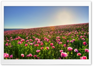 Beautiful Flower Field HD Wide Wallpaper for Widescreen