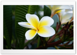 Beautiful Frangipani HD Wide Wallpaper for Widescreen
