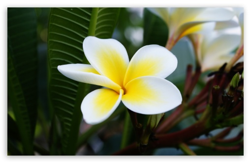 Beautiful Frangipani HD wallpaper for Wide 16:10 5:3 Widescreen WHXGA WQXGA WUXGA WXGA WGA ; HD 16:9 High Definition WQHD QWXGA 1080p 900p 720p QHD nHD ; Standard 4:3 5:4 3:2 Fullscreen UXGA XGA SVGA QSXGA SXGA DVGA HVGA HQVGA devices ( Apple PowerBook G4 iPhone 4 3G 3GS iPod Touch ) ; Tablet 1:1 ; iPad 1/2/Mini ; Mobile 4:3 5:3 3:2 16:9 5:4 - UXGA XGA SVGA WGA DVGA HVGA HQVGA devices ( Apple PowerBook G4 iPhone 4 3G 3GS iPod Touch ) WQHD QWXGA 1080p 900p 720p QHD nHD QSXGA SXGA ; Dual 4:3 5:4 UXGA XGA SVGA QSXGA SXGA ;