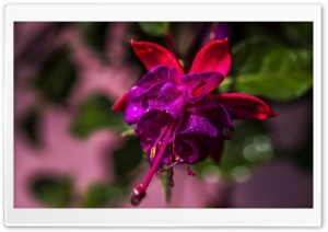 Beautiful Fuchsia Flower HD Wide Wallpaper for Widescreen