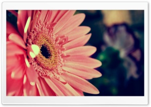 Beautiful Gerbera HD Wide Wallpaper for Widescreen