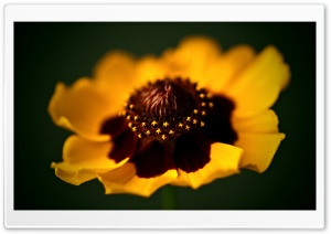 Beautiful Golden Flower Macro HD Wide Wallpaper for Widescreen
