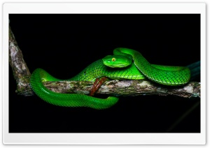 Beautiful Gumprecht's Green Pit Viper, Trimeresurus Gumprechti Snake Ultra HD Wallpaper for 4K UHD Widescreen desktop, tablet & smartphone