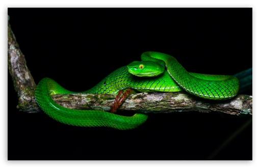beautiful gumprechts green pit viper trimeresurus gumprechti snake wallpapers