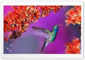 Beautiful Hummingbird HD Wide Wallpaper for Widescreen