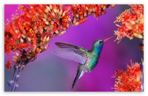 Beautiful Hummingbird HD wallpaper for Wide 16:10 5:3 Widescreen WHXGA WQXGA WUXGA WXGA WGA ; HD 16:9 High Definition WQHD QWXGA 1080p 900p 720p QHD nHD ; Standard 4:3 5:4 3:2 Fullscreen UXGA XGA SVGA QSXGA SXGA DVGA HVGA HQVGA devices ( Apple PowerBook G4 iPhone 4 3G 3GS iPod Touch ) ; Tablet 1:1 ; iPad 1/2/Mini ; Mobile 4:3 5:3 3:2 16:9 5:4 - UXGA XGA SVGA WGA DVGA HVGA HQVGA devices ( Apple PowerBook G4 iPhone 4 3G 3GS iPod Touch ) WQHD QWXGA 1080p 900p 720p QHD nHD QSXGA SXGA ;