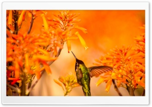Beautiful Hummingbird Feeding Ultra HD Wallpaper for 4K UHD Widescreen desktop, tablet & smartphone