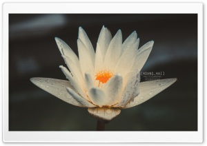 Beautiful in white Lotus HD Wide Wallpaper for Widescreen