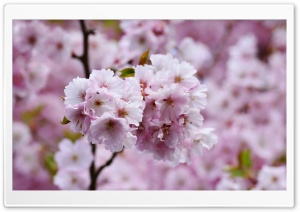 Beautiful Japanese Cherry Blossom HD Wide Wallpaper for 4K UHD Widescreen desktop & smartphone