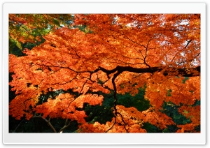 Beautiful Japanese Maple Tree HD Wide Wallpaper for Widescreen