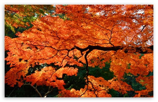 Beautiful Japanese Maple Tree wallpaper for Standard 4:3 5:4 Fullscreen UXGA XGA SVGA QSXGA SXGA ; Wide 16:10 5:3 Widescreen WHXGA WQXGA WUXGA WXGA WGA ; HD 16:9 High Definition WQHD QWXGA 1080p 900p 720p QHD nHD ; Other 3:2 DVGA HVGA HQVGA devices ( Apple PowerBook G4 iPhone 4 3G 3GS iPod Touch ) ; Mobile VGA WVGA iPhone iPad PSP Phone - VGA QVGA Smartphone ( PocketPC GPS iPod Zune BlackBerry HTC Samsung LG Nokia Eten Asus ) WVGA WQVGA Smartphone ( HTC Samsung Sony Ericsson LG Vertu MIO ) HVGA Smartphone ( Apple iPhone iPod BlackBerry HTC Samsung Nokia ) Sony PSP Zune HD Zen ; Tablet 2 ;