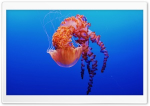 Beautiful Jellyfish HD Wide Wallpaper for 4K UHD Widescreen desktop & smartphone
