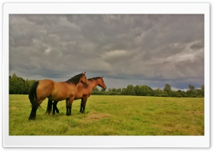 Beautiful Latvian horses. HD Wide Wallpaper for Widescreen