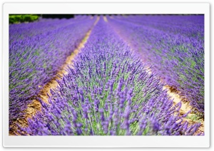 Beautiful Lavender Flowers HD Wide Wallpaper for Widescreen