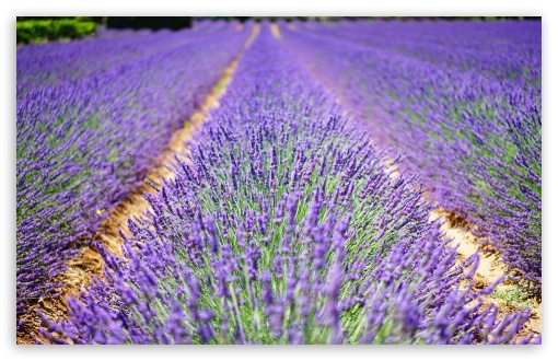Beautiful Lavender Flowers ❤ 4K UHD Wallpaper for Wide 16:10 5:3 Widescreen WHXGA WQXGA WUXGA WXGA WGA ; UltraWide 21:9 24:10 ; 4K UHD 16:9 Ultra High Definition 2160p 1440p 1080p 900p 720p ; UHD 16:9 2160p 1440p 1080p 900p 720p ; Standard 4:3 5:4 3:2 Fullscreen UXGA XGA SVGA QSXGA SXGA DVGA HVGA HQVGA ( Apple PowerBook G4 iPhone 4 3G 3GS iPod Touch ) ; Tablet 1:1 ; iPad 1/2/Mini ; Mobile 4:3 5:3 3:2 16:9 5:4 - UXGA XGA SVGA WGA DVGA HVGA HQVGA ( Apple PowerBook G4 iPhone 4 3G 3GS iPod Touch ) 2160p 1440p 1080p 900p 720p QSXGA SXGA ; Dual 16:10 5:3 16:9 4:3 5:4 3:2 WHXGA WQXGA WUXGA WXGA WGA 2160p 1440p 1080p 900p 720p UXGA XGA SVGA QSXGA SXGA DVGA HVGA HQVGA ( Apple PowerBook G4 iPhone 4 3G 3GS iPod Touch ) ; Triple 16:10 5:3 16:9 4:3 5:4 3:2 WHXGA WQXGA WUXGA WXGA WGA 2160p 1440p 1080p 900p 720p UXGA XGA SVGA QSXGA SXGA DVGA HVGA HQVGA ( Apple PowerBook G4 iPhone 4 3G 3GS iPod Touch ) ;