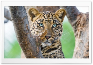 Beautiful Leopard HD Wide Wallpaper for Widescreen