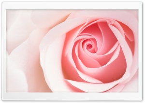 Beautiful Light Pink Rose Flower Macro HD Wide Wallpaper for Widescreen