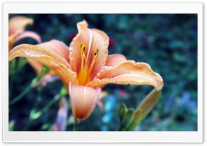 Beautiful Lily HD Wide Wallpaper for Widescreen