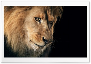 Beautiful Lion Portrait HD Wide Wallpaper for Widescreen