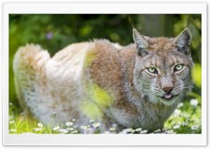 Beautiful Lynx female lying in the flowers HD Wide Wallpaper for 4K UHD Widescreen desktop & smartphone