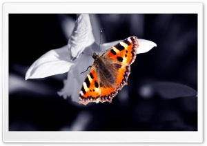 Beautiful Orange Butterfly HD Wide Wallpaper for Widescreen