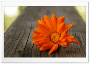 Beautiful Orange Flower Ultra HD Wallpaper for 4K UHD Widescreen desktop, tablet & smartphone