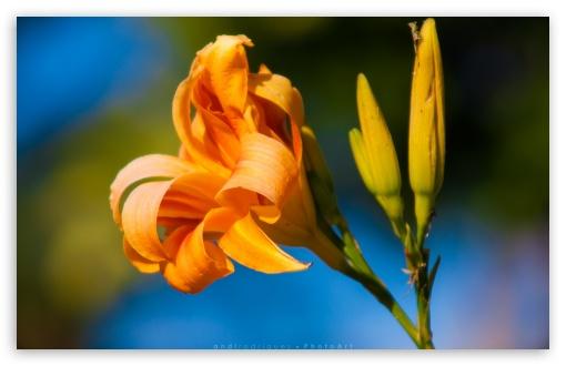 Download Beautiful Orange Flower HD Wallpaper